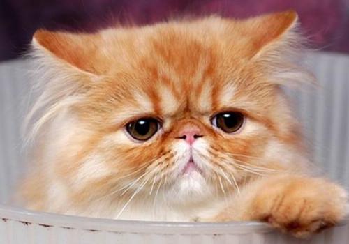 喜马拉雅猫的形态特征