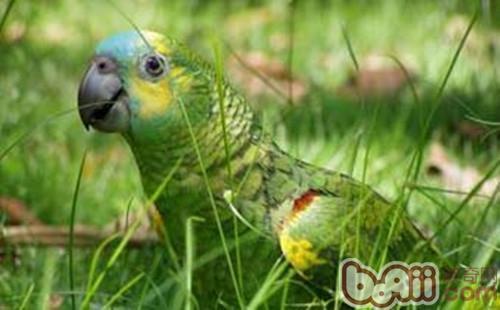 橙翅亚马逊鹦鹉的饲养要点