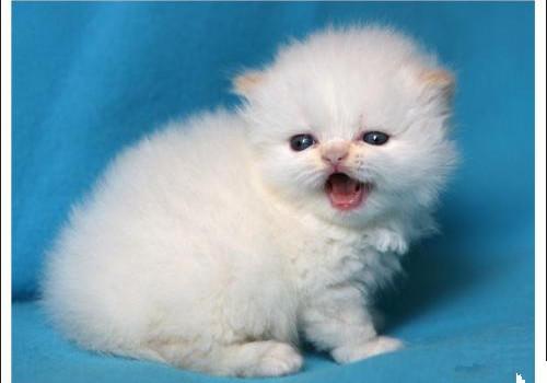 喜马拉雅猫的性格特点