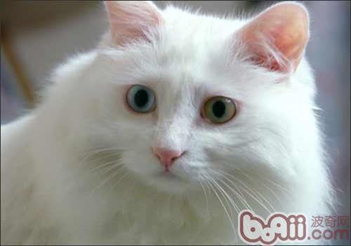 土耳其安哥拉猫(详情介绍)
