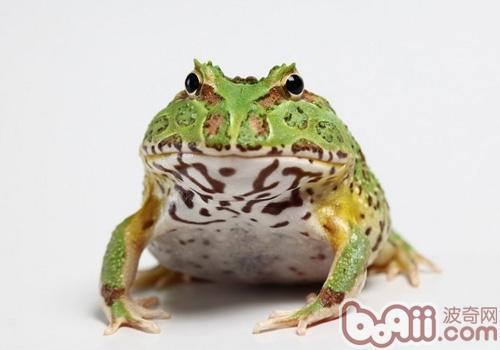 钟角蛙的养护知识