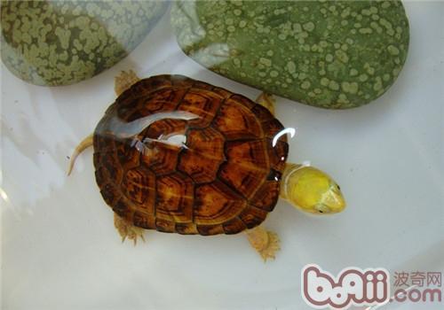 黄喉拟水龟