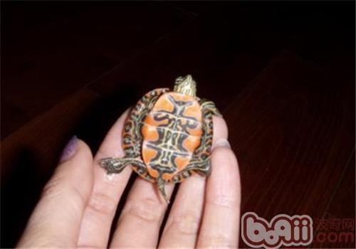 火焰龟的选购及养护方法