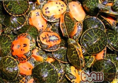 火焰龟的形态特征