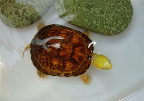 黄喉拟水龟苗的饲养_黄喉拟水龟的品种简介|爬虫品种-波奇网百科大全