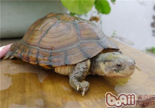 黄喉拟水龟的人工养护要点