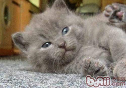夏特尔猫的形态特征