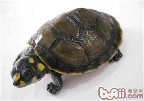 黄头侧颈龟