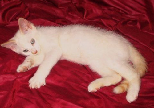 重点色短毛猫的性格特点