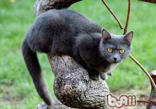 夏特尔猫的性格特点