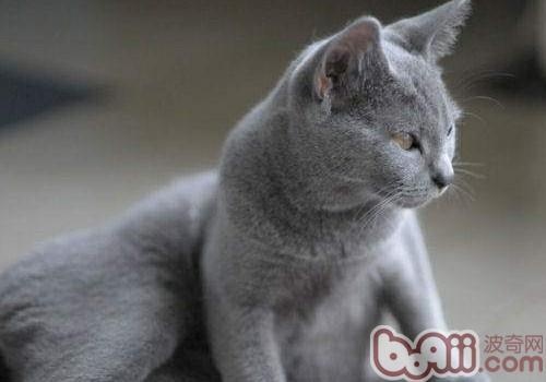 夏特尔猫的养护知识