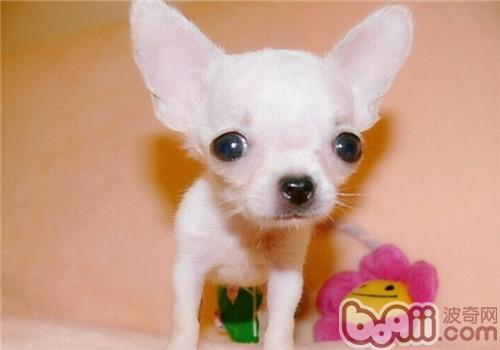 吉娃娃犬的品种简介