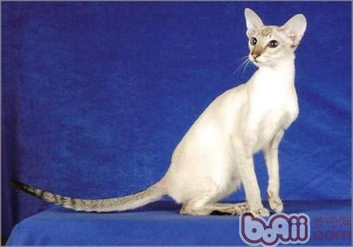 重点色短毛猫细长图片