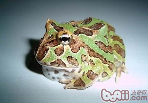 钟角蛙的形态特征