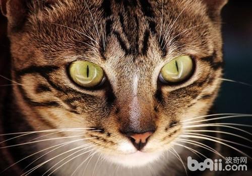 中國貍花貓的養護知識