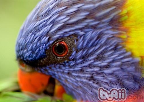 彩虹吸蜜鹦鹉的品种简介