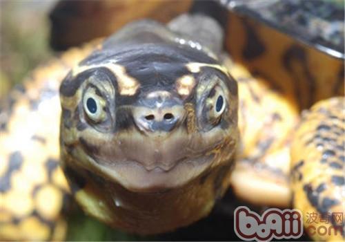 哥伦比亚木纹龟的喂食方法