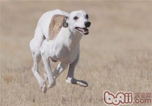 惠比特犬的性格特点