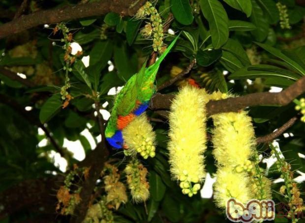 彩虹吸蜜鹦鹉的饲养环境