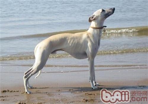 惠比特犬的形态特征