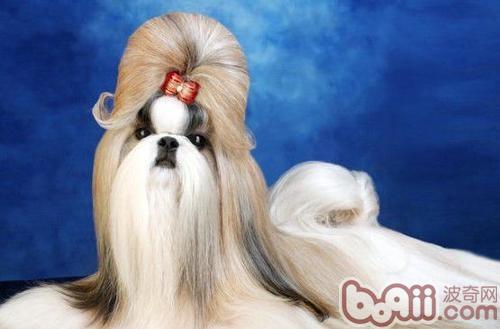 西施犬的形态特征