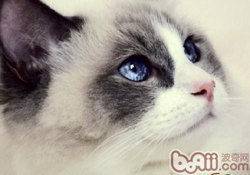 你了解布偶猫的疾病和健康问题吗?