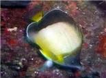 暗带蝴蝶鱼的饲养环境介绍