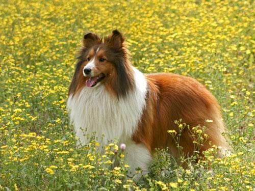 喜乐蒂牧羊犬的形态特征