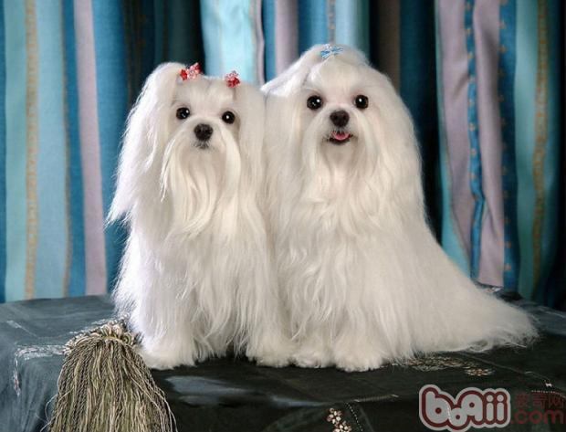 马尔济斯犬的形态特征