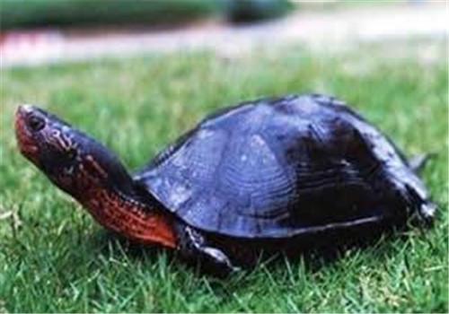 黑颈乌龟的食物选择