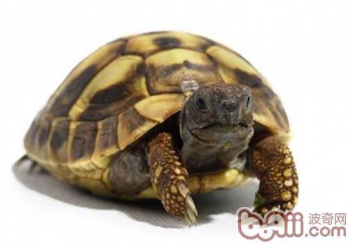 赫曼陆龟的环境布置