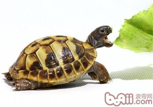 赫曼陆龟的外形特征