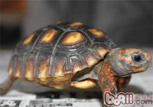 红腿陆龟的环境要求