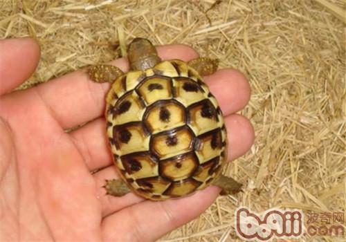 赫曼陆龟的品种简介