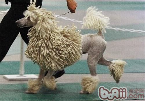 可蒙犬的品种简介
