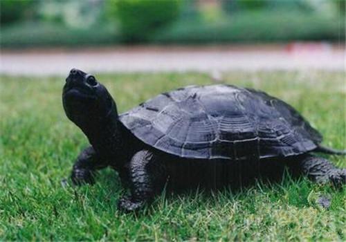 黑颈乌龟的生活环境