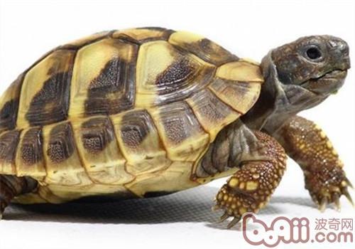赫曼陆龟的食物选择