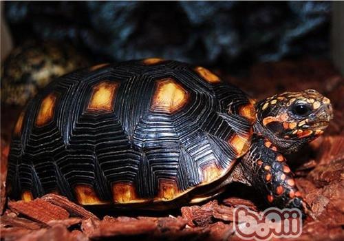 红腿陆龟的饲养要点