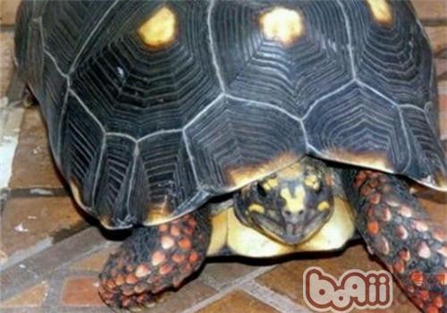 红腿陆龟的品种简介