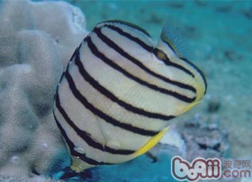 八带蝴蝶鱼的生存环境