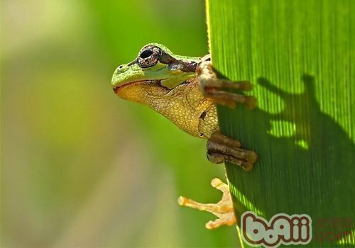 棕叶掌树蛙的护理知识