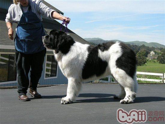 纽芬兰犬的性格特点
