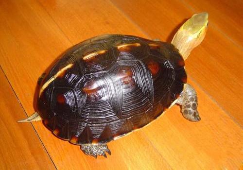 黄缘闭壳龟/黄缘闭壳龟吃什么比较好?