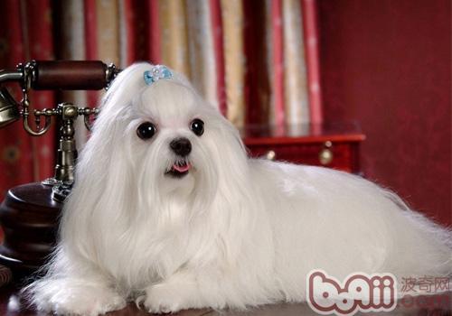 马尔济斯犬的品种简介