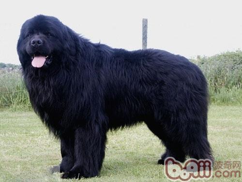 纽芬兰犬的品种简介