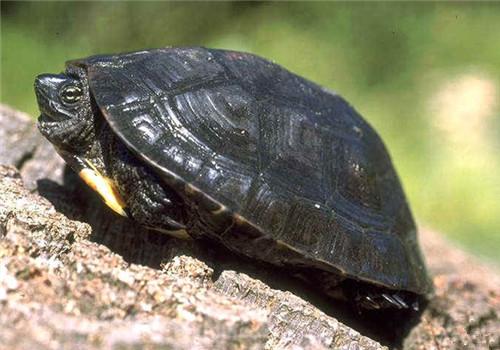 黑颈乌龟的形态特征