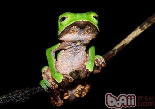 棕叶掌树蛙的饲养要求