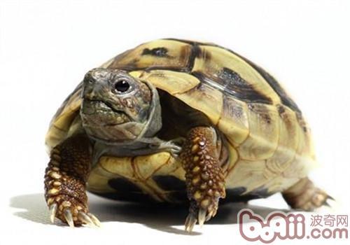 赫曼陆龟的护理知识