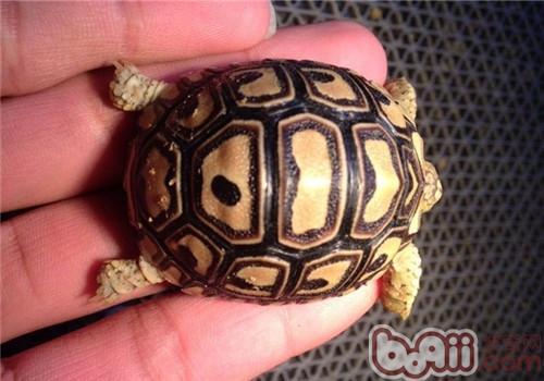 豹纹陆龟的喂食方法