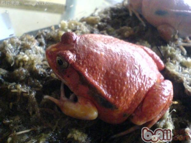 安东吉利红蛙的养护要点